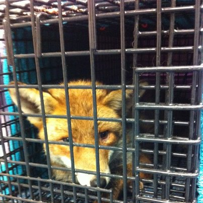 Fox Rubbernose in trap